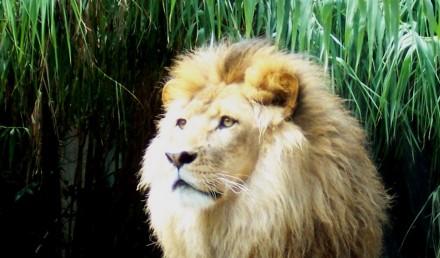 BUSINESS lion