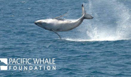 Pacific Whale Foundation-humpback breach