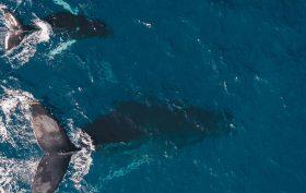 humpback whales, humpback whale song, humpback whale behaviour, humpback whale altruism, harmony
