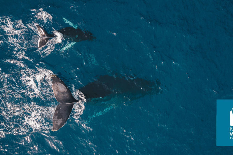 Pacific Whale Foundation, humpback whales