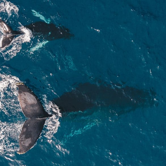 humpback whales,